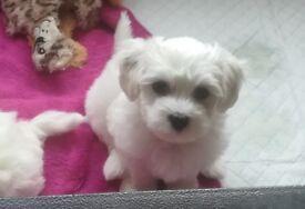 Maltese bichion puppies