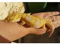 Stunning male leopard gecko