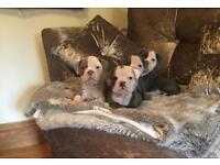 Old tyme English bulldogs pups
