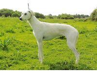 lurcher female for sale