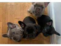 French bulldog puppies - REDUCED!!
