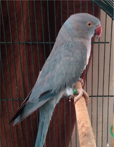 Lost Blue Parrot Galston Hornsby Area Preview