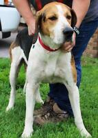 "Adult Male Dog - Treeing Walker Coonhound: ""Cappy FOSTER NEEDED"""