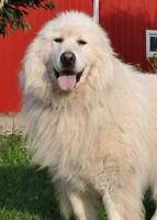 """Adult Female Dog - Great Pyrenees: """"Rory"""""""