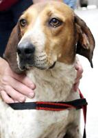 "Young Male Dog - English Coonhound: ""Toby FOSTER NEEDED"""