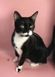 "Young Female Cat - Domestic Short Hair-Tuxedo: ""Mustacho"""