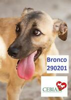 "Adult Male Dog - German Shepherd Dog: ""BRONCHO"""