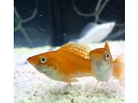 Beautiful Mollies, Platies, Bettas, Harlequins, Tetras, tropical fish *Home Delivery*