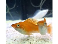 Molly tropical fish super healthy and colourful