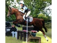 Beautiful chestnut mare for loan