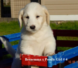 BERNEMMA (Bernese x Maremma Sheep Dog) X POODLE PUPS