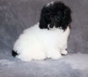 Black and white toy parti male poodle