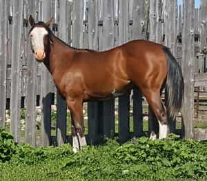 Trade Apha Paint colt