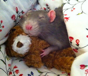 WANTED: old male rat (2+ years)