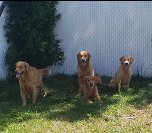 Golden Retriever a vendre