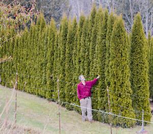 Emerald Cedar Hedging Trees