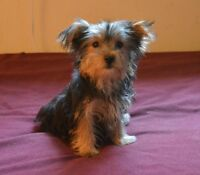 Male Yorkie Pup