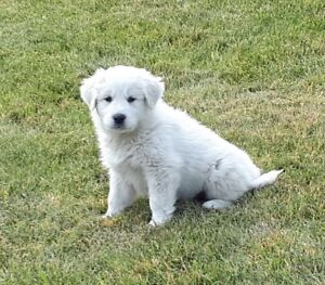 GORGEOUS GREAT PYRENEES PUPPIES