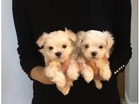 Maltese puppies KC registered