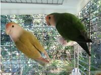 Lovebirds pair 4 years old with large vision cage