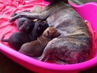 Labrador cross Staff pets for sale