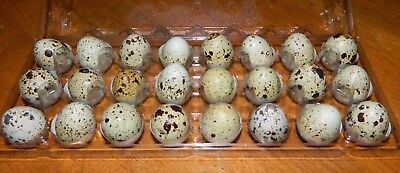 12 Coturnix Quail Hatching Eggs