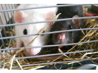 Two friendly lovely female sisters Rats (Snowflake & Inky) needs a new loving home