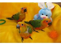 Beautiful hand tamed baby Sun Conure Talking Parrot ready Now