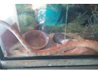 Female corn snake & vivarium