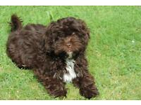 Shih Tzu X Miniature poodle puppies for sale.