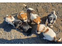 3/4 jack russell pups for sale