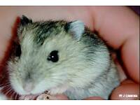 Russian Campbell male hamster