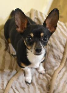 "Adult Female Dog - Chihuahua: ""Sophie"""