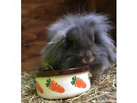 Lop Bunny Belle