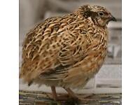 Male quail ( free )