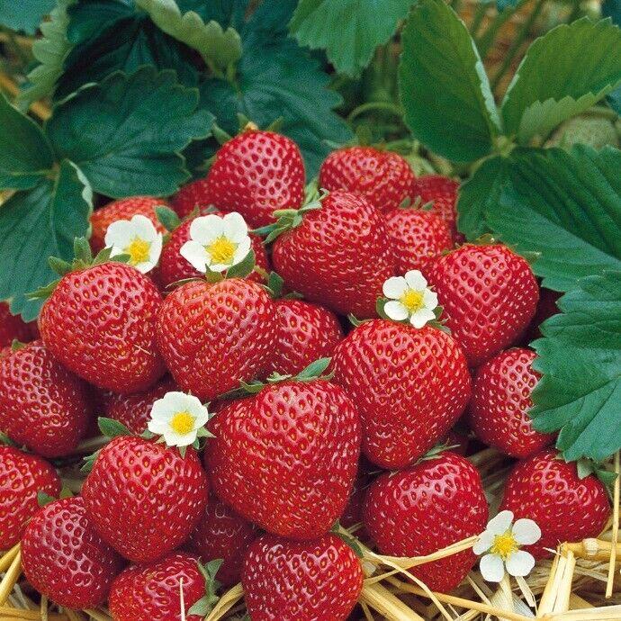 Erdbeerpflanzen  Elianny  25 Pflanzen im Topf