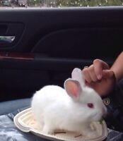 Pet baby bunny for sale named snowball