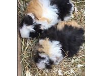 Pair of young Guinea Pigs- Male
