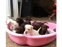 Chocolate And Yellow Labrador Puppies