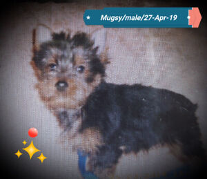 Sold.      YORKIE/YORKSHIRE TERRIER CKC REGISTERED MALE