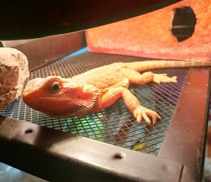 Red Trans Hypo Bearded Dragon