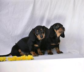 Quality dachshund puppies