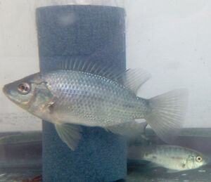 Tilapia for sale! Need to go! Great fish for aquaponics