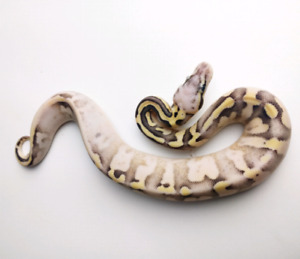 A variety of ball python babies
