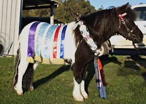 Expression of interest Shetland Stud Avoca Northern Midlands Preview