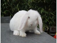French Lop Giant babies ready now