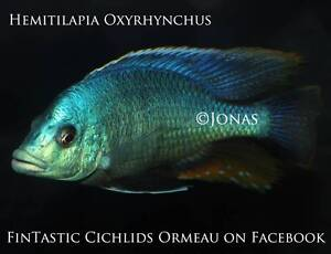 H. Oxyrhynchus....breeding colony of a very rare African Cichlid! Ormeau Gold Coast North Preview