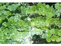 Marine / saltwater / fish tank / aquarium Halimeda or money plant