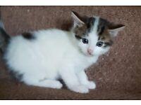 sokoke kittens for sale £100