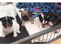 French bulldog puppies for sale Blue & tan carriers